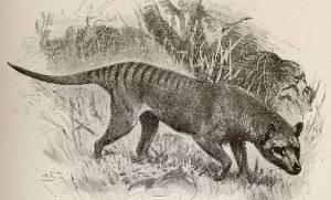 x-thylacine1